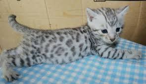snow bengal cat. Simple Snow White Snow Leopard Bengal Cat I Want One So Bad Throughout Snow Bengal Cat S