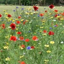 Helichrysum frigidum | Creation: Nature | Plants, Alpine plants, Flowers