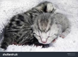newborn gray kittens. Unique Gray Kittens Sleeping Newborn Babies British Scottish Striped Gray Kittens   EZ Canvas And Gray Kittens L