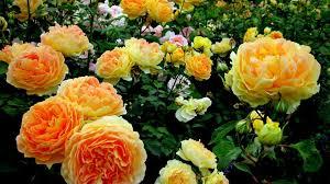 beautiful yellow rose hd wallpapers hd wallpapers inn
