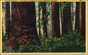 Image result for public doman photos Redwoods
