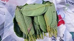 ฝ่ายปกครอง อ.สะเดา ตรวจยึดใบกระท่อมสด ซุกป่าทึบแนวเขตชายแดนไทย - มาเลเซีย -  77 ข่าวเด็ด