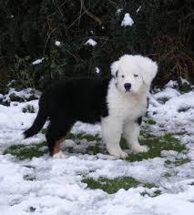 white bernese mountain dog. Exellent Mountain Unofficial Zoe Half White Bernese Mountain Dog Lives In England Inside N