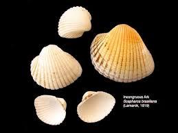 Clam Identification Chart Florida Shell Identification