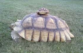 katrina smith mid atlantic turtle tortoise society via ap a baby sulcata turtle on top of a young sulcata
