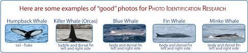 Humpback Whale Photo Id Marine And Freshwater Research