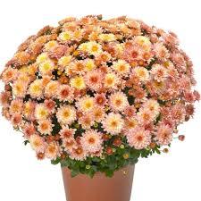 chelsey c yoder garden mum plant