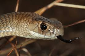 Eastern Brown Snake The Australian Museum