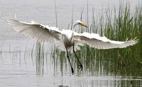Image result for egrets