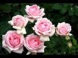 <b>Розовые розы</b> Светке Соколовой - YouTube