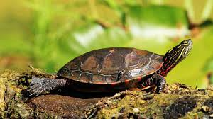 How To Determine A Turtles Age Pet Turtles