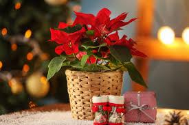 Lang Lebe Der Weihnachtsstern Kraut Rüben