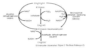 Alcohol Metabolism Chart Alcohol Metabolism