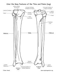 tibia diagram blank tibia database wiring diagram images bony features tib fib coloring