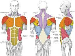 Okay, so again, this is our primitive forms and shapes. Upper Body Muscles Drawing Page 1 Line 17qq Com