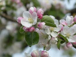 Image result for apple tree in flower