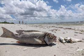 A Red Tide on Florida's Gulf Coast Has ...