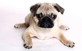 pug puppy wallpaper. Simple Puppy To Pug Puppy Wallpaper
