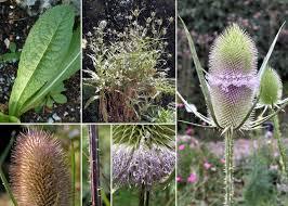 Dipsacus fullonum L. subsp. fullonum - Portale sulla flora del basso ...