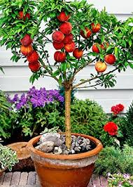 fruit growing fruit trees