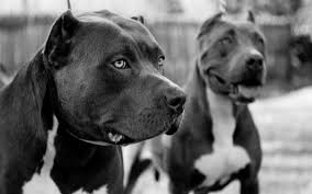 pitbull wallpapers two pitbulls in black and white