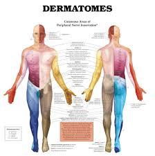 Dermatomal Pattern Beauteous Skin Dermatomes Ravi Ramachandran MD
