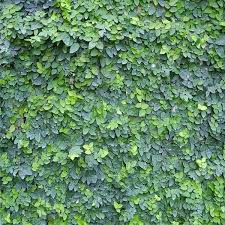 The 25 Best Ficus Pumila Ideas On Pinterest  Vines Green Nature Wall Climbing Plants Australia
