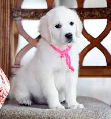 white golden retriever puppies for sale. One Of Beautiful Past Puppies We Offer Healthy And Very Sweet Natured Maximus Our Handsome English Cream Golden Retriever With White For Sale