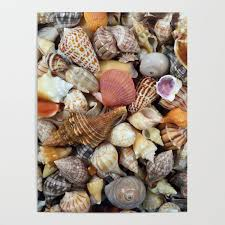 Seashell Collection From Florida Poster By Cynthiabphoto