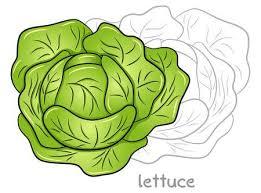 lettuce clipart. Exellent Lettuce Vector Illustration Of A Fresh Lettuce Head With Lettuce Clipart K