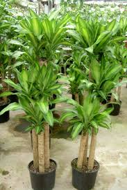 Tropical office plants Home Mr Price Corn Plant 2 Short Term Indoor Plant Hire Installation Archives Page Of Moore Park Plantscapes
