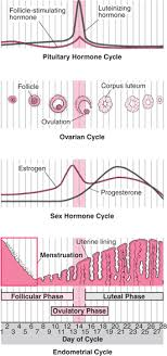 Female Menstrual Cycle Flow Chart Menstrual Cycle Womens Health Issues Msd Manual