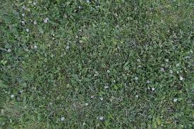 green grass mixed clover weed species white small flowers fresh brigh color summer ground short foliage large texture