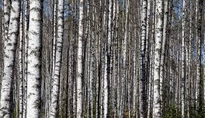 tree forest branch plant sunlight trunk birch twig spruce deciduous grove  woodland habitat flowering plant birch