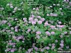 Images & Illustrations of crown vetch