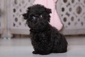 lincoln lively teacup yorkie poo
