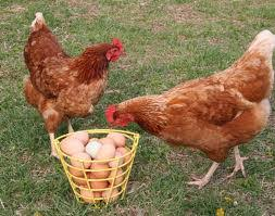 real farm animals chickens. Fine Animals Chickens And Their Eggs Image For Real Farm Animals E
