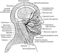 Motor And Sensory Facial Nerves Dummies