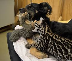 ocelot size santos the baby ocelot loves playing with his best friend blakely