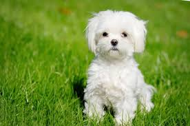 maltese dog. cute white maltese dog