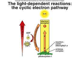 light dependent reactions equation