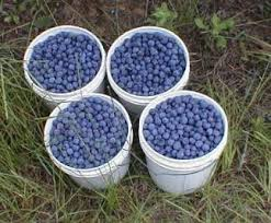 Choosing The Best Blueberry Varieties For Cross Pollination