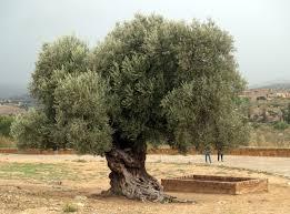 """Résultat de recherche d'images pour """"l'olivier"""""""
