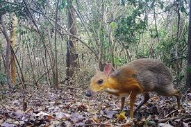 Adorable Vietnamese Mouse-<b>Deer</b> Rediscovered In The Wild After ...