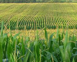 Image result for crops and corn