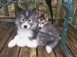 samo cross breeds husky samo mix puppies for