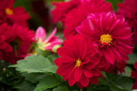 garden centers nj. Garden Centers In NJ_Flower Shops Distributors Shop NJ_Variety Growers Neptune NJ_Dahlia Copy Nj A