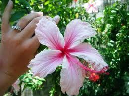 ocho rios jamaica one of my favorite flowers in jamaica
