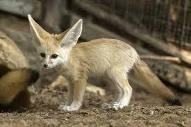 newborn fennec fox. Fine Newborn A Picture Taken On November 6 2016 Shows A Sevenweek Old Fennec Fox Throughout Newborn Fennec Fox O