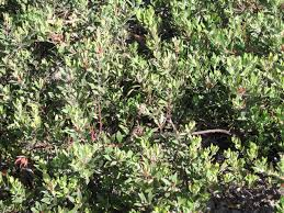 it does not appear to be thriving in areas that receive intermittent disturbance and much replanting has been done of this
